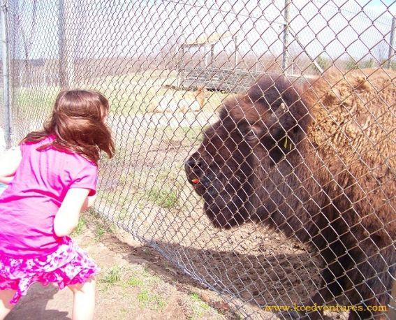 feeding-bison-apples-watermarked