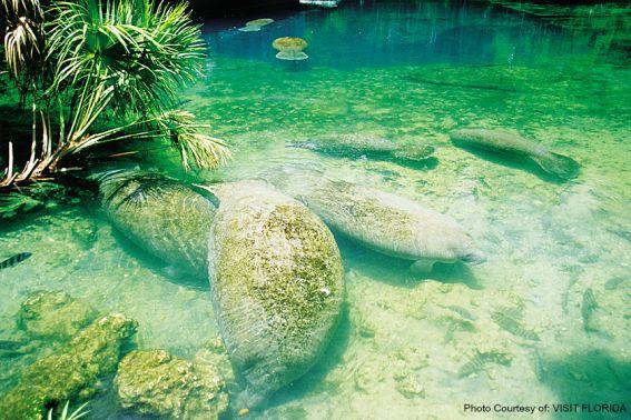 Manatees Photo Courtesy of: VISIT FLORIDA