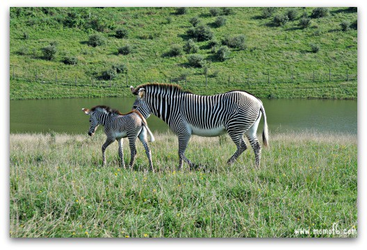 Seeing a 9-day old baby zebra at The Wilds in Ohio